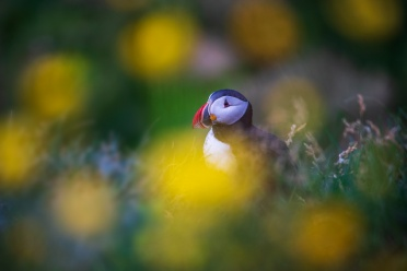 Flowers and Puffin