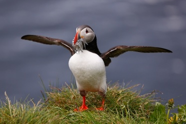 Proud to be a Puffin