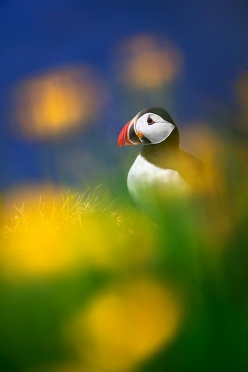 Puffin and Flowers