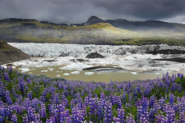 Lupines blooming at Svínafellsjökull
