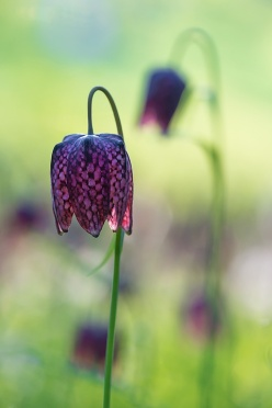 Snake's Head Flower blooming on a meadow