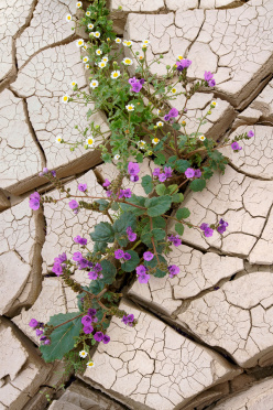 Wildflowers growing out of Cracked Mud