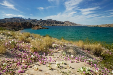 Wildflowers at Lake Mead
