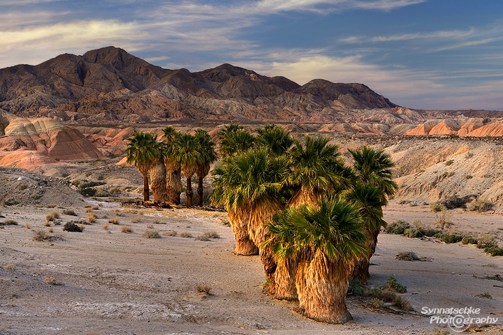 Desert Palm Oasis Anza Borrego California Usa