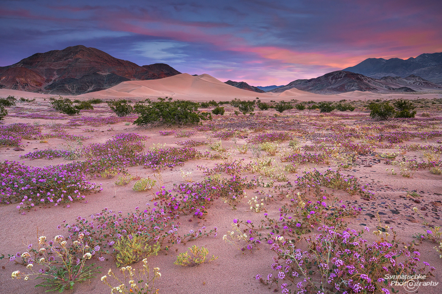 Wildflowers blooming at the Ibex Dunes