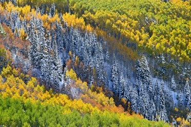 Aspen Forest - Amazing Fall Colors