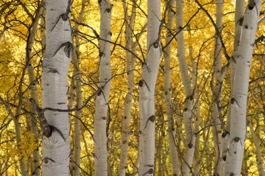 Kebler Pass - Aspen Trees on Fire