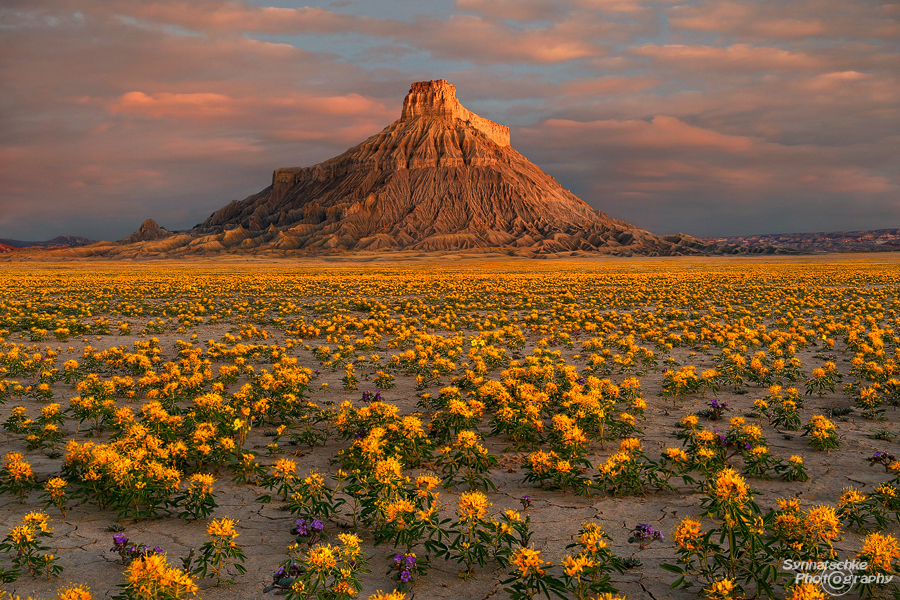 Factory Butte Wildflowers