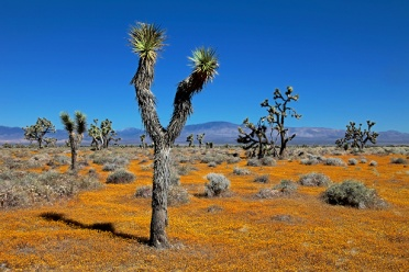 Joshua Trees And Yellow Carpet