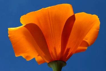 Wildflowers California Poppy