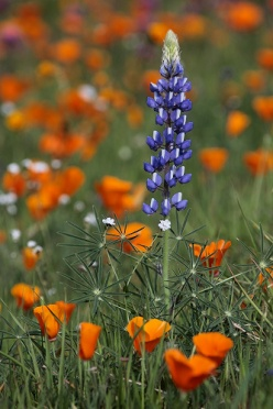 Wildflowers Lupine And California Poppies