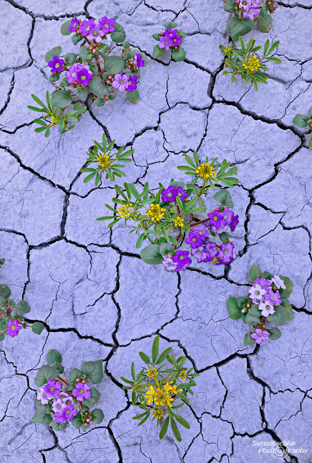 Wildflowers in cracked mud